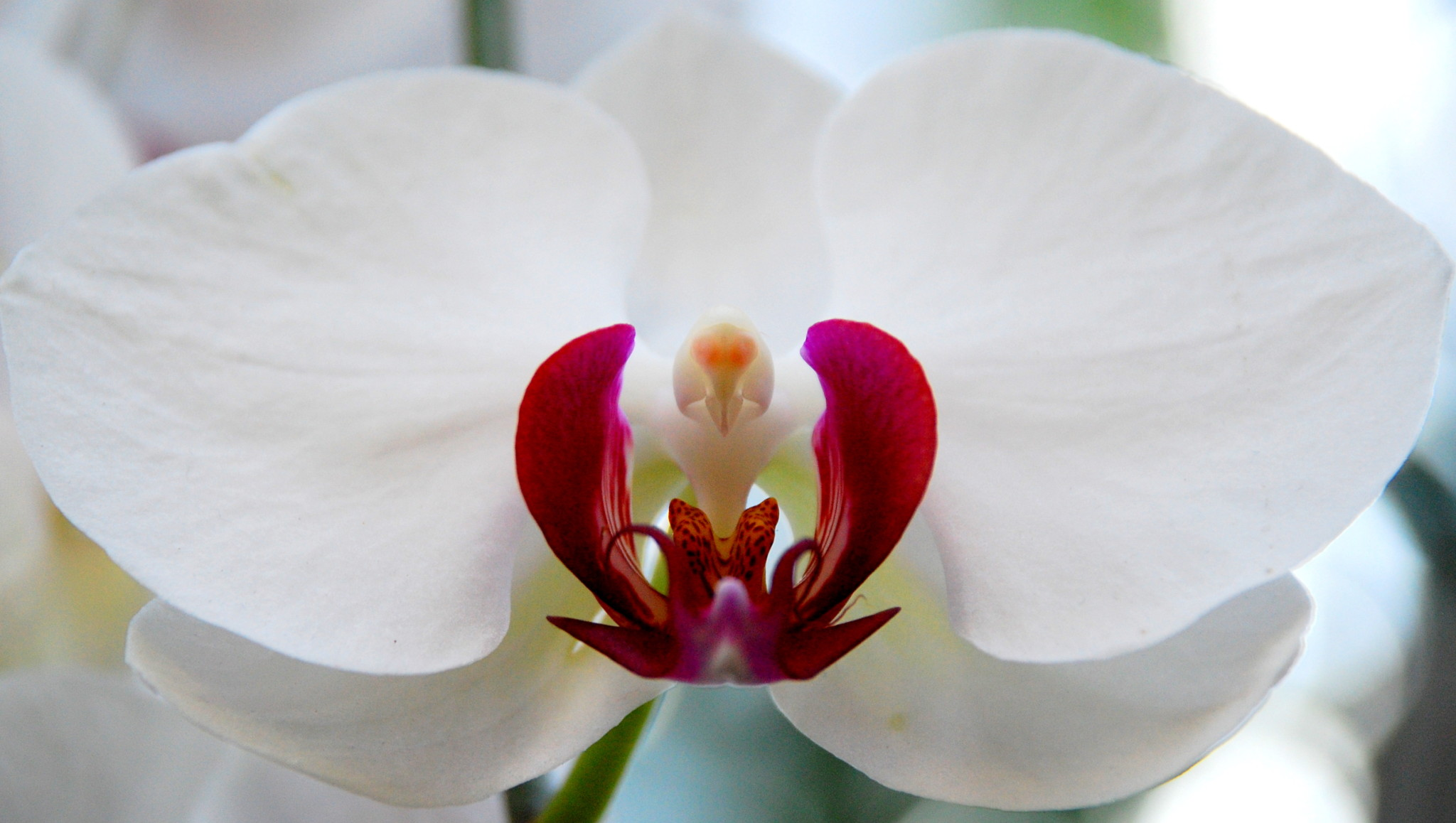 White_Orchid1
